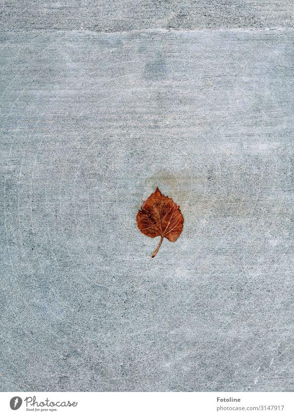 Lindenblatt Umwelt Natur Herbst Blatt natürlich braun grau Herbstlaub herbstlich Herbstfärbung Bodenbelag Stein Farbfoto mehrfarbig Außenaufnahme Detailaufnahme
