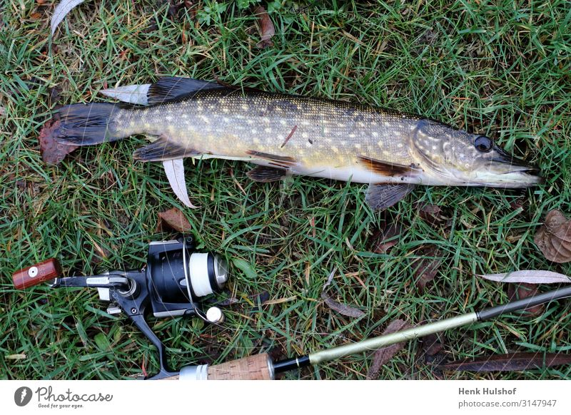 Hecht mit einer Spinnmaschine fangen Freizeit & Hobby Angeln Urelemente Frühling Sommer Herbst Winter Wiese Tier Fisch 1 mehrfarbig gelb gold grau grün silber
