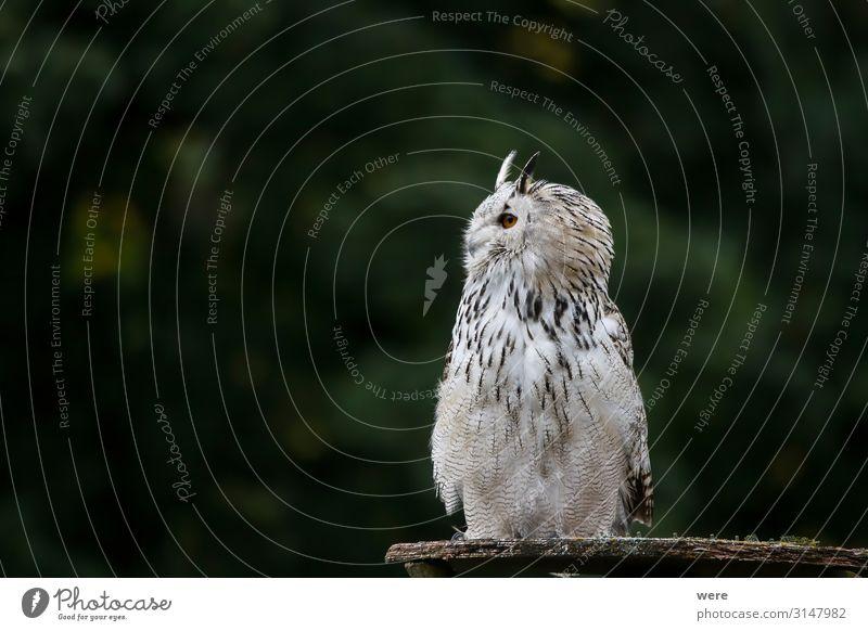 Snowy owl Natur Tier Wildtier Vogel Eulenvögel 1 weich Bubo scandiacus Falconer Plumage Prey animal bird bird of prey copy space falconry feathers flight fly