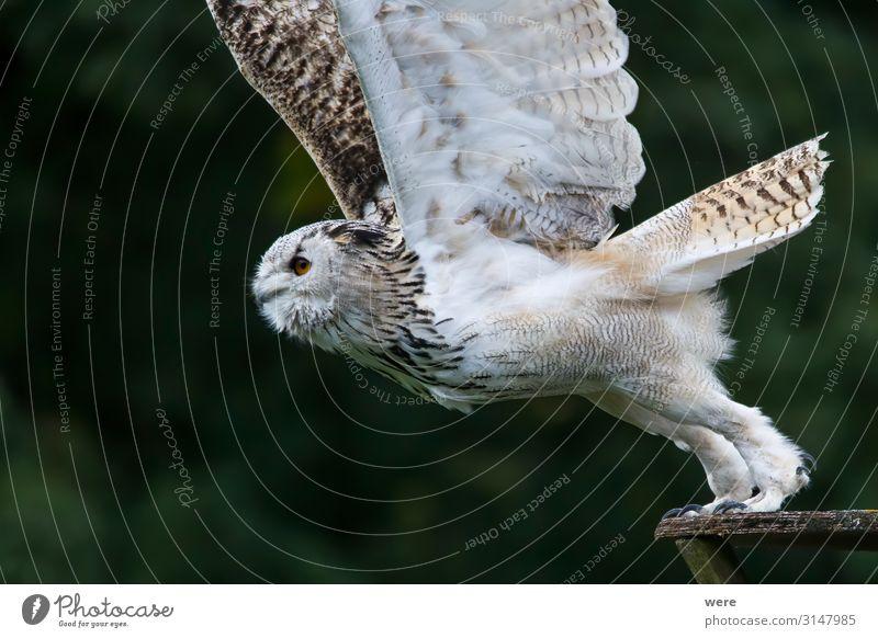 Snowy owl in flight Natur Tier Vogel fliegen Wildtier weich