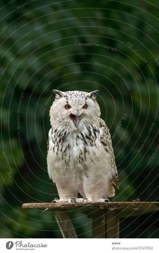 Owl is sitting on a board Natur Tier Vogel Wildtier weich Aggression Eulenvögel