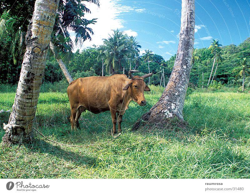 Entspanntes Rind Tier Freiheit Afrika Seychellen