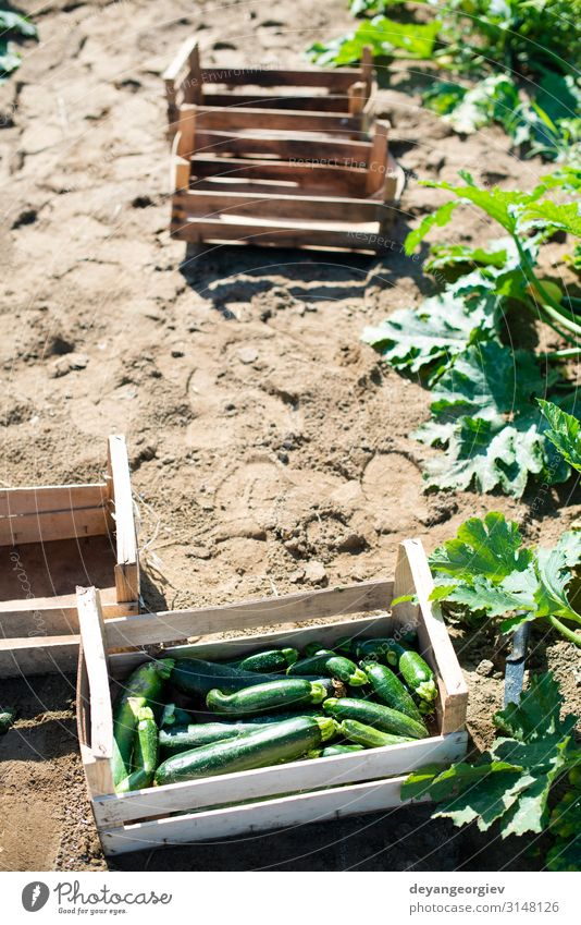 Zucchini pflücken im industriellen Betrieb. Holzkisten Gemüse Frucht Vegetarische Ernährung Sommer Garten Gartenarbeit Natur Blume Wachstum frisch natürlich