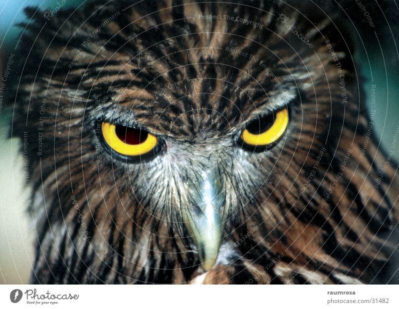 Uhu Auge Tier Vogel Sri Lanka