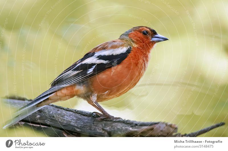 Buchfink im Sonnenschein Natur Tier Sonnenlicht Schönes Wetter Baum Zweige u. Äste Wildtier Vogel Tiergesicht Flügel Krallen Fink Kopf Schnabel Auge Feder