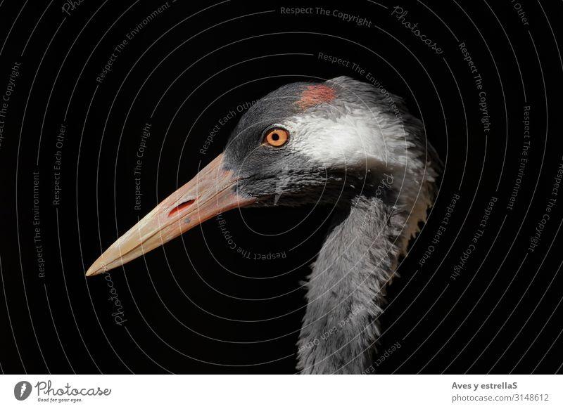 Porträt eines gemeinen Kranichs (Grus grus) mit schwarzem Hintergrund Vogel Schnabel Natur Reiher Tier Hühnervögel weiß Auge Silberreiher geheimnisvoll Kopf