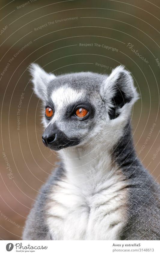 Porträt eines Lemurs mit Ringelschwanz (Lemur catta) Maki Tier Säugetier Madagaskar Zoo Pelzmantel niedlich wild Hühnervögel Natur Katta Auge Katze Rind Schwanz
