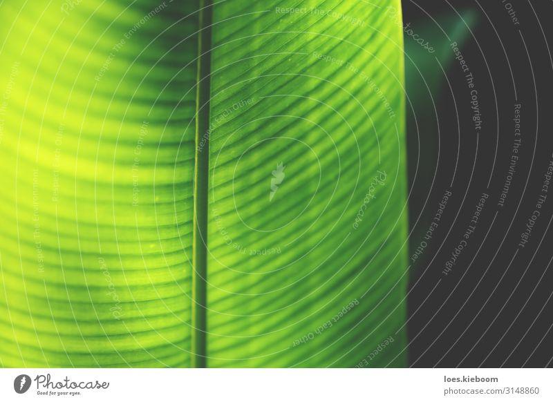 Closeup of a neon coloured heliconia leaf Design Spa Sommer Natur Streifen Gesundheit retro gelb grün Gefühle Glück Lebensfreude Optimismus Warmherzigkeit