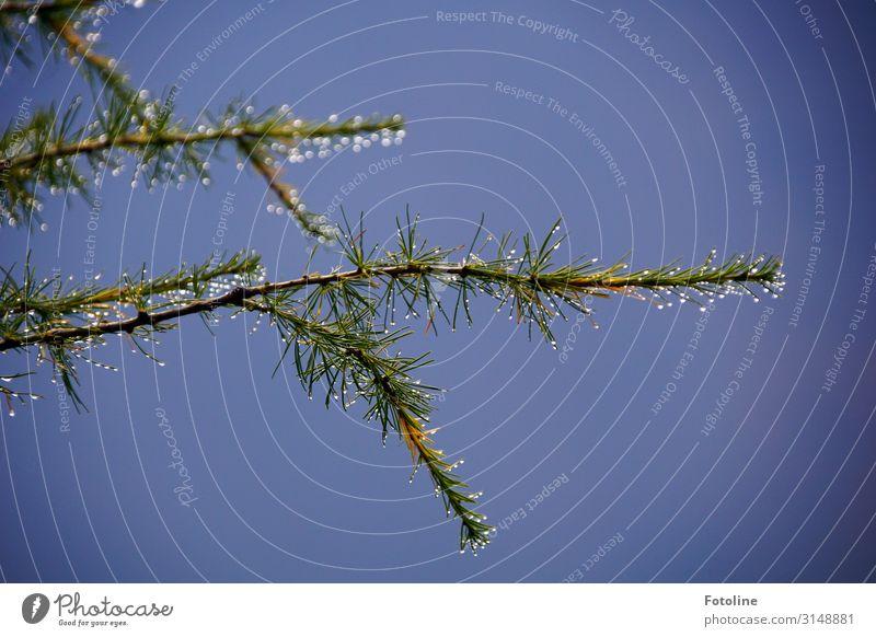 Lärche Umwelt Natur Pflanze Urelemente Wasser Wassertropfen Herbst Schönes Wetter Baum frisch glänzend nah nass natürlich blau grün Ast Zweige u. Äste Nadelbaum