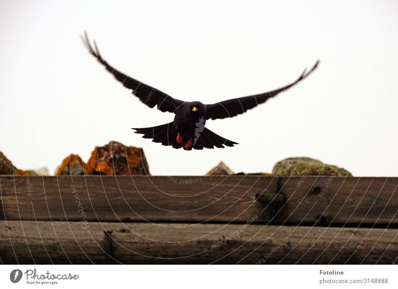 Alpendohle Umwelt Natur Tier Wildtier Vogel Flügel 1 frei natürlich braun schwarz fliegen gefiedert Alpendole Holzdach Balken Farbfoto mehrfarbig Außenaufnahme