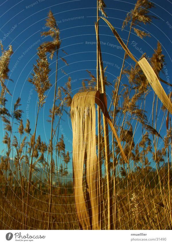 Schilf am Stadtrand II Natur Wasser Himmel blau Pflanze gelb braun Schilfrohr
