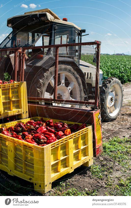 Reife große rote Paprikaschoten auf dem Traktor eines Bauernhofes. Gemüse Ernährung Pflanze Verkehr Wachstum frisch natürlich reifen Kommissionierung Kiste