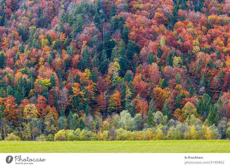 Herbstwald Tourismus Freiheit Natur Landschaft Schönes Wetter Pflanze Baum Wald alt genießen frei mehrfarbig Wandel & Veränderung herbstlich Herbstfärbung