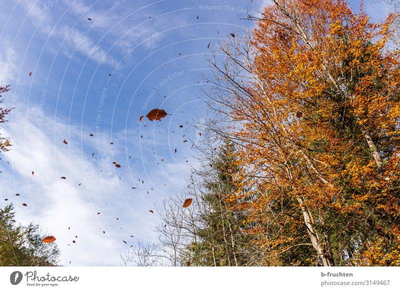 Goldener Herbst Ferien & Urlaub & Reisen Freiheit wandern Umwelt Natur Himmel Wolken Schönes Wetter Wind Baum Blatt Wald Bewegung fallen fliegen genießen