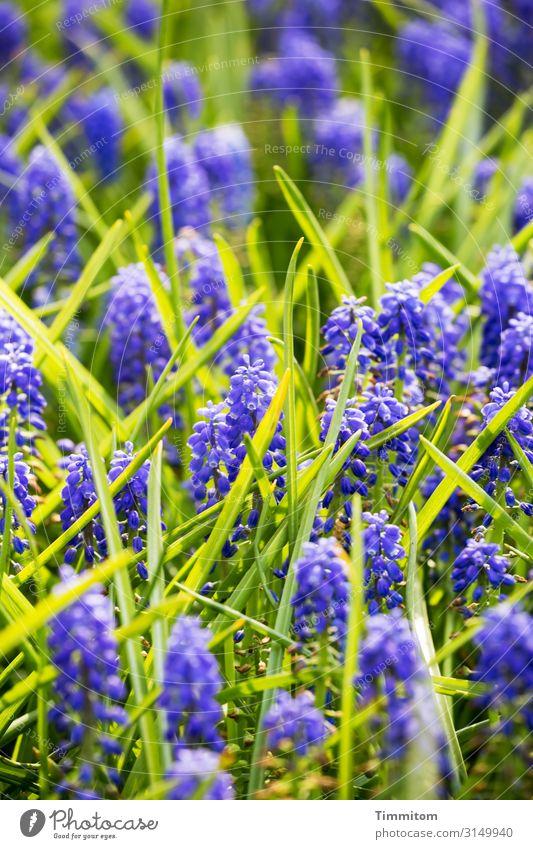 Blütenpracht Ferien & Urlaub & Reisen Natur Pflanze Frühling Blume Blatt Park Niederlande Blühend natürlich blau grün Gefühle Lebensfreude Frühlingsgefühle