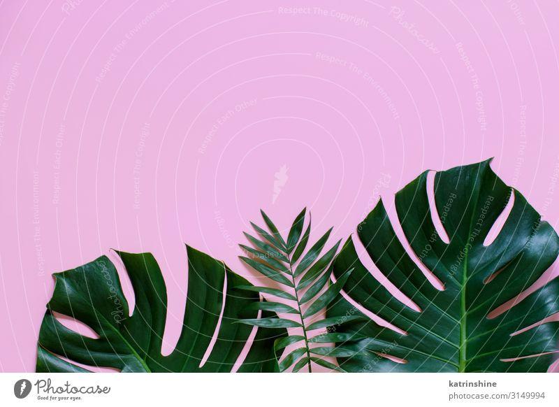 Tropischer Hintergrund mit Monstera-Blättern Design exotisch Ferien & Urlaub & Reisen Sommer Strand Pflanze Blatt hell trendy modern grün rosa Kreativität