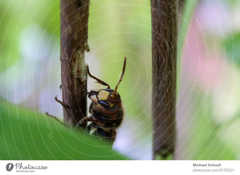 Hornisse Tier Essen natürlich Wildtier Insekt Appetit & Hunger nachhaltig Fressen Hornissen