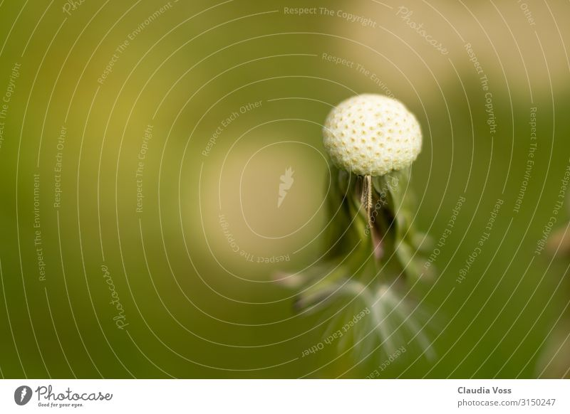 Löwenzahn Pusteblume verblüht Natur Pflanze Blume alt Gedeckte Farben Textfreiraum links