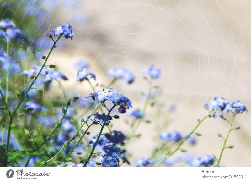 unvergessen Pflanze Frühling Sommer Schönes Wetter Blume Vergißmeinnicht Garten Feld Blühend einfach Freundlichkeit hell klein natürlich niedlich blau grün weiß