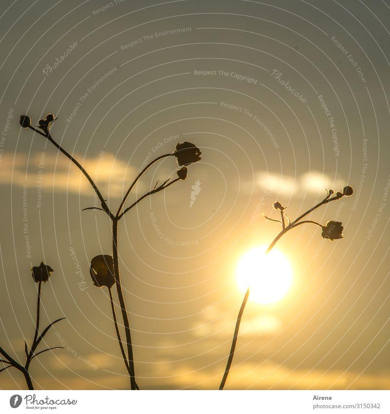 Hahnenfußentzündung Pflanze Himmel Nachthimmel Sonne Sonnenaufgang Sonnenuntergang Sommer Schönes Wetter Blume Wiese Blühend leuchten Wachstum dunkel dünn