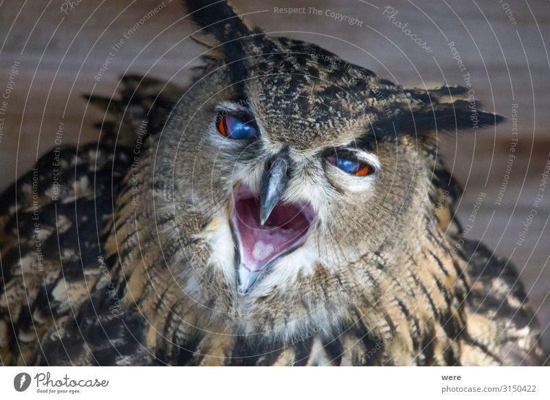 European eagle owl looks into the camera Natur Tier Wildtier Vogel Eulenvögel Uhu 1 weich Falconer Owl Plumage Prey animal bird bird of prey copy space falconry