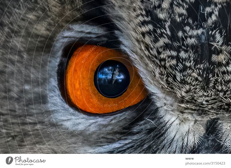 closeup of an Owl eye Auge Natur Tier Vogel Eulenvögel 1 weich Falconer Plumage Prey animal bird bird of prey copy space falconry feathers flight fly hunting
