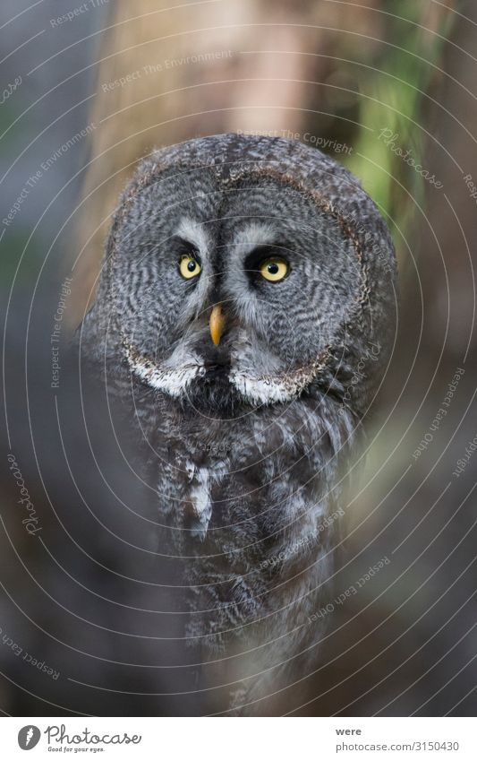 owl looks into the camera Natur Tier Wildtier Vogel 1 weich Falconer Owl Plumage Prey animal bird bird of prey copy space falconry feathers flight fly hunting