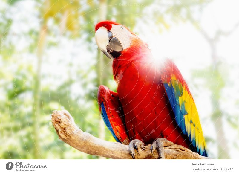 Kinky Red scarlet macaw in jungle Natur Tier Sonnenlicht Sommer Baum exotisch Park Urwald Haustier Wildtier Vogel Flügel Zoo Papageienvogel 1 Wärme rot Freude
