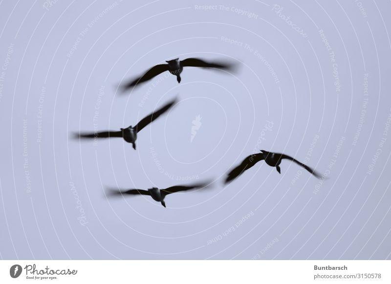 eleganter Abflug nach Süden Umwelt Natur Tier Himmel Herbst Wildtier Vogel Flügel Gans 4 Tiergruppe Schwarm Tierfamilie fliegen ästhetisch natürlich Mobilität