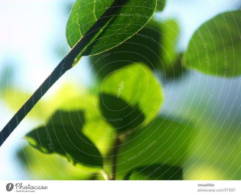 Durchlicht Blatt grün Herbst Licht Baum Pflanze Makroaufnahme Natur