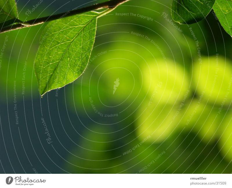 Durchlicht II Natur Baum grün Pflanze Blatt Herbst Licht