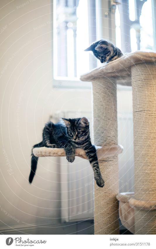 Smilla und Emmy Häusliches Leben Wohnung Raum Fenster Haustier Katze 2 Tier Tierjunges Kratzbaum hell klein Neugier niedlich Erholung ruhig Farbfoto