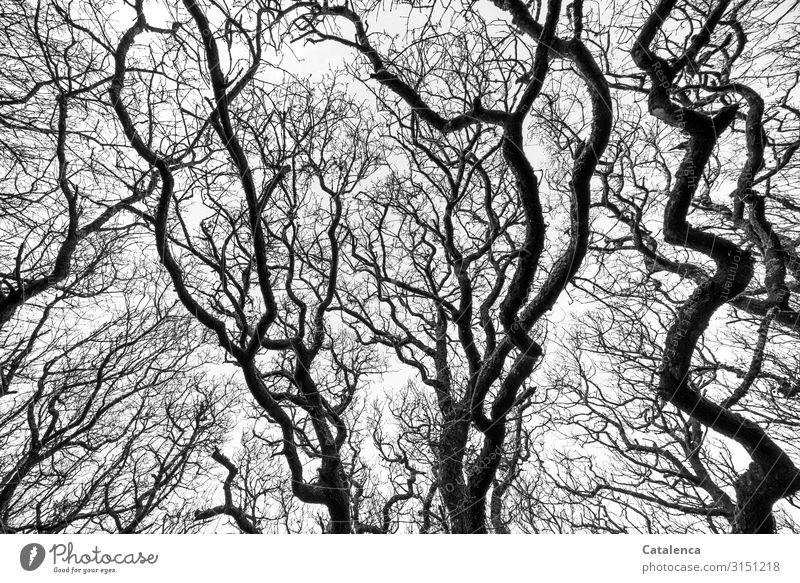 Die kahlen,  knorrigen wild verzweigten Äste alter Laubbäume  strecken sich gen Himmel Hintergrund Zweige verdreht Baum Laubbaum knotig wachsen Winter Tag