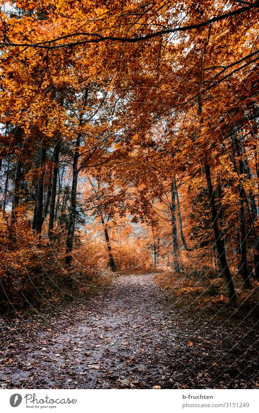 Waldspaziergang Wohlgefühl Freizeit & Hobby Ausflug wandern Natur Herbst Pflanze Baum Blatt Park Wege & Pfade Erholung gehen genießen natürlich orange