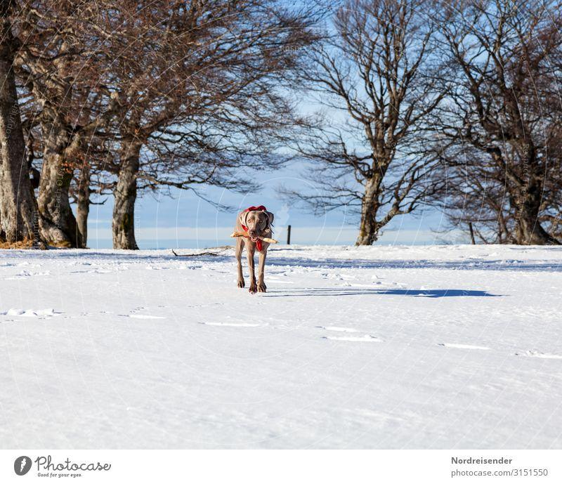 Spielen im Schnee Ferien & Urlaub & Reisen Ausflug Winter Winterurlaub Natur Landschaft Himmel Klima Schönes Wetter Eis Frost Baum Park Wald Tier Haustier Hund