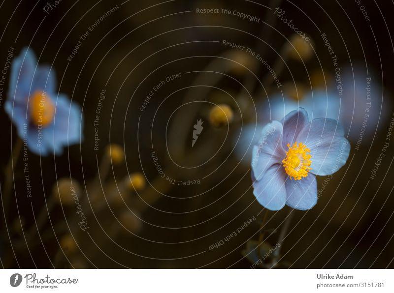 Anemonen mit Blaustich ;-) Natur Pflanze Blume Erholung ruhig dunkel Herbst Blüte Feste & Feiern Garten außergewöhnlich Zufriedenheit leuchten frisch Geburtstag
