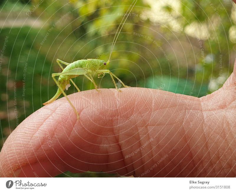 Fips der Grashüpfer ... Tier Käfer Heuschrecke 1 grün Natur Farbfoto Außenaufnahme Textfreiraum oben Freisteller Tag Starke Tiefenschärfe Zentralperspektive