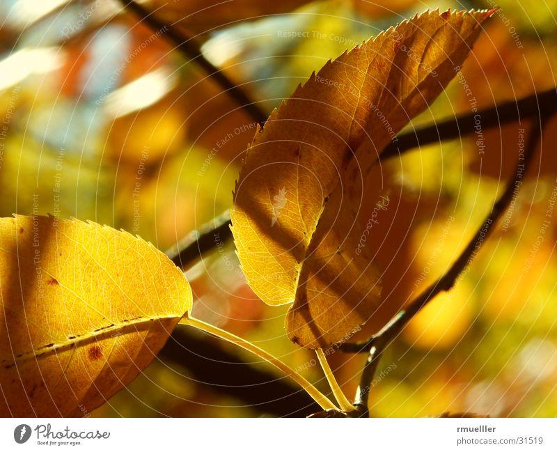 HerbstGold II Blatt gelb braun Baum Wald Makroaufnahme gold Farbe