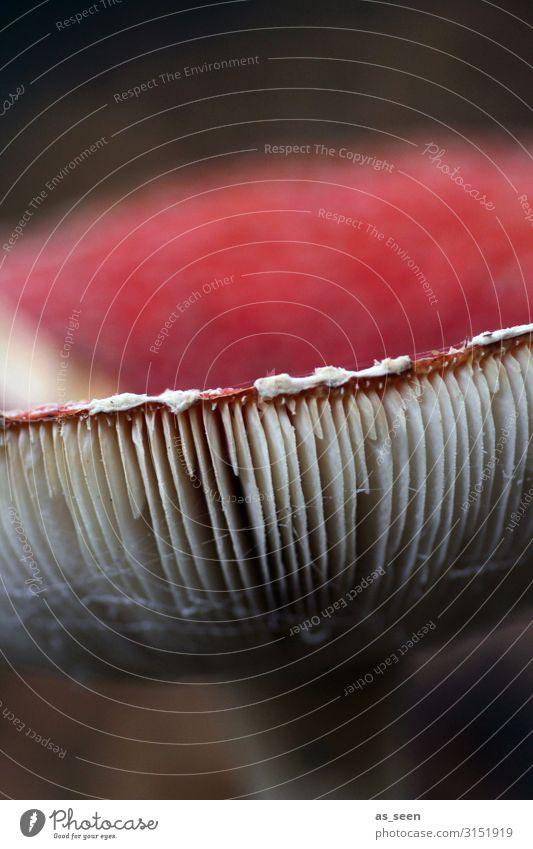 Lamellen vom Fliegenpilz Umwelt Natur Pflanze Herbst Pilz Pilzhut Park Wald leuchten stehen authentisch dunkel nah braun rot schwarz weiß Farbe Verbote Gift