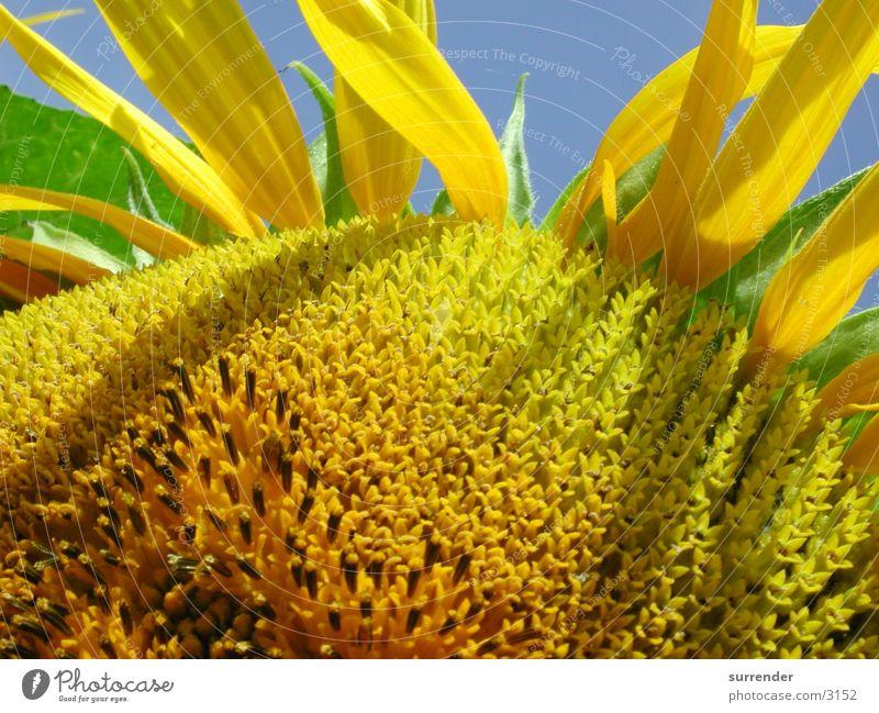 Sonnenblume Makro Sommer Feld Sonnenblume