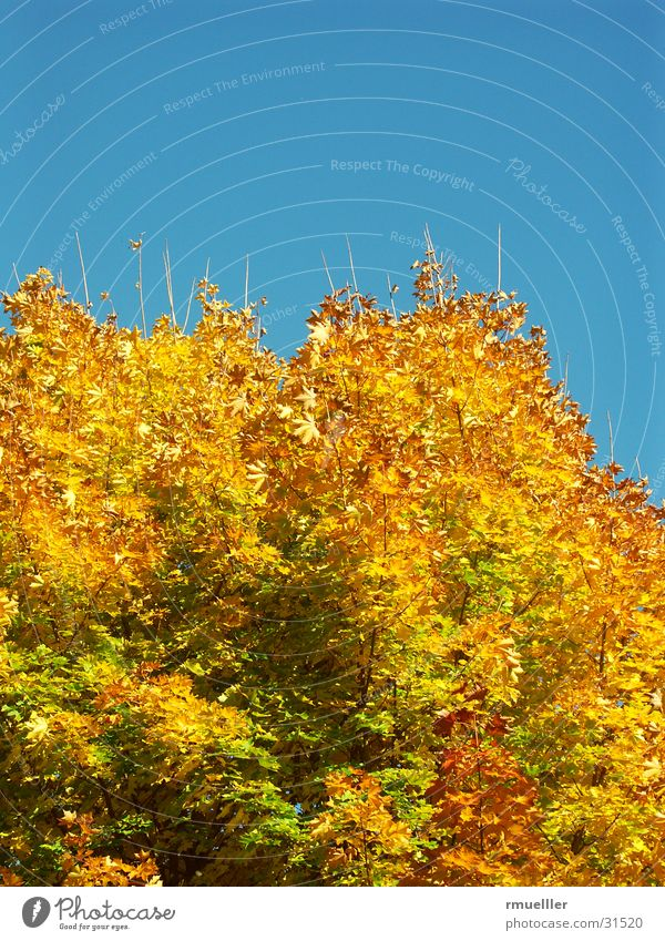HerbstGold III Himmel Baum blau gelb Farbe Wald braun gold