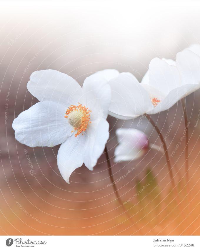Bunte Natur Makrofotografie.Blumenkunst Design.Anemone Lifestyle Reichtum elegant Stil Kunst Kunstwerk Pflanze Frühling Sommer Herbst Grünpflanze Blühend Duft