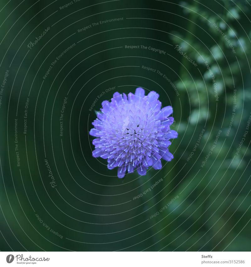 hypnotisch mittig Tauben-Skabiose Stauden Blume Blüte Skabiosen violette Blume blühende Blume Zierpflanze Sommerblüte Blütezeit natürlich rund grün blauviolett