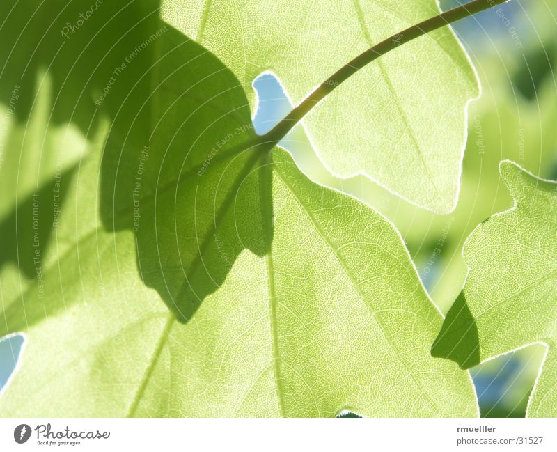Grün beruhigt... Makroaufnahme Baum Blatt Gegenlicht durchscheinend Natur