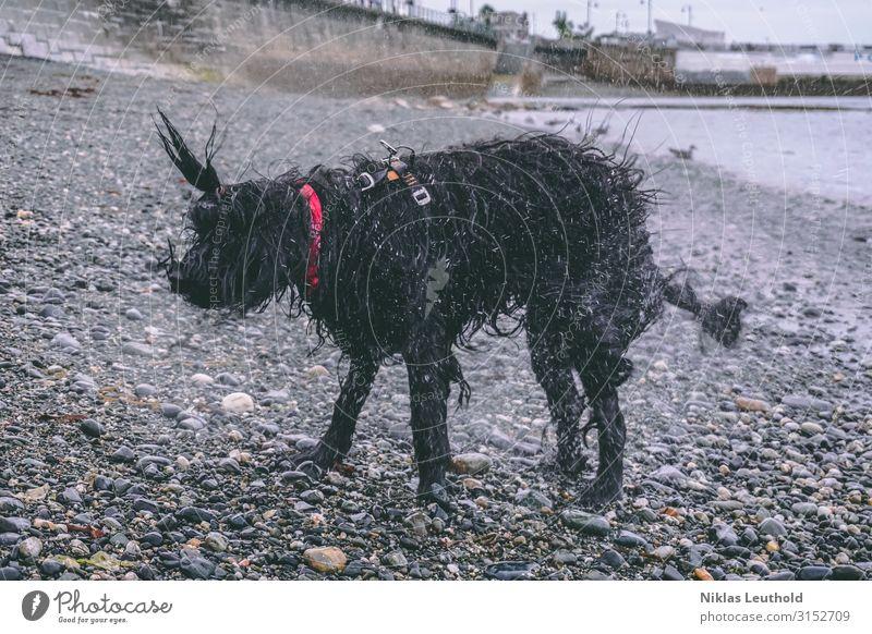 Schüttelnder Hund Umwelt schlechtes Wetter Regen Küste Strand Fischerdorf Mauer Wand Halstuch schwarzhaarig langhaarig Tier Haustier 1 Schwimmen & Baden