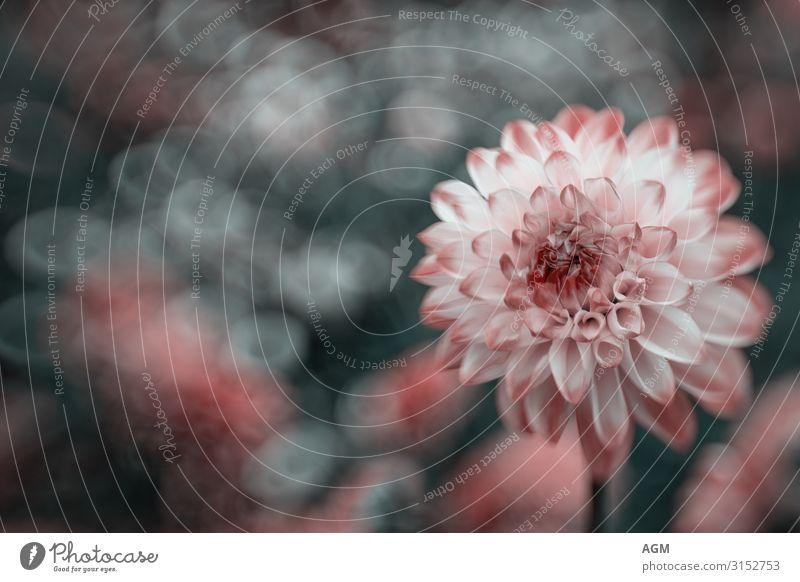 Herbstliches Farbenspiel Dahlie vor unscharfem Hintergund Natur Pflanze schön weiß rot Blume Blüte natürlich Glück Garten rosa Park elegant ästhetisch