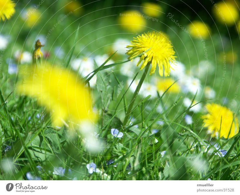 Sonnenanbeter II Natur Sonne Blume grün Wiese Löwenzahn