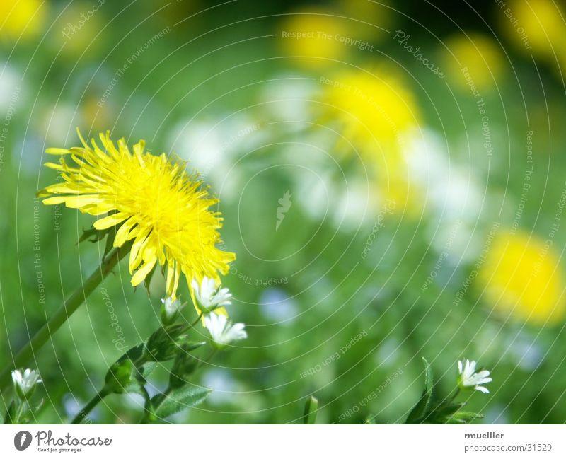 Sonnenanbeter I Natur grün gelb Wiese Löwenzahn