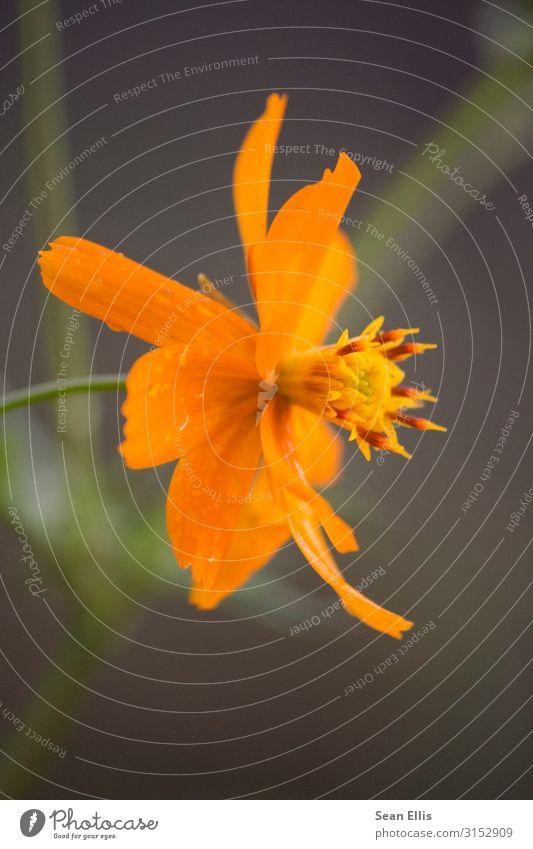 Orangenblüte Umwelt Natur Pflanze Wassertropfen Frühling Schönes Wetter Blume Blüte Park Philippinen schön gelb orange ruhig Farbfoto Makroaufnahme Menschenleer