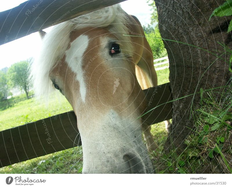 Pferdefresse Natur Tier Auge Wiese Gras Pferd Fressen Schnauze Haflinger